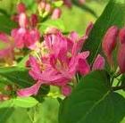 lon virág