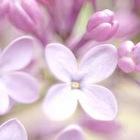 orgona lila